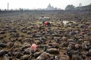 Animal Sacrifice in Nepal
