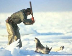 Baby Seal Clubbed by a Sealer Crying Out in Pain