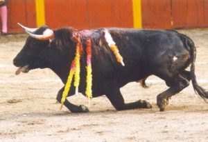 Bull Hurt in Rodeo