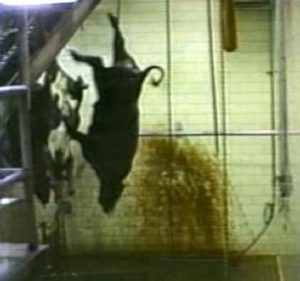 Cow Hung from One Leg in the Meat Industry
