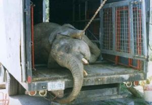 Elephant Abused in Circus Died in Transit