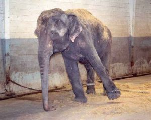 Elephant Restrained by Chains in Both Legs