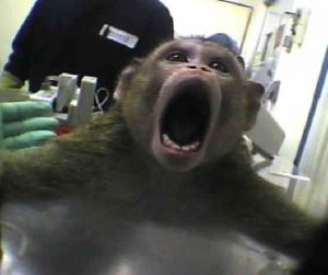 Monkey Crying out in Pain in Lab Experiment