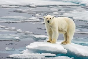Polar Bear In Shrinking Polar Ice